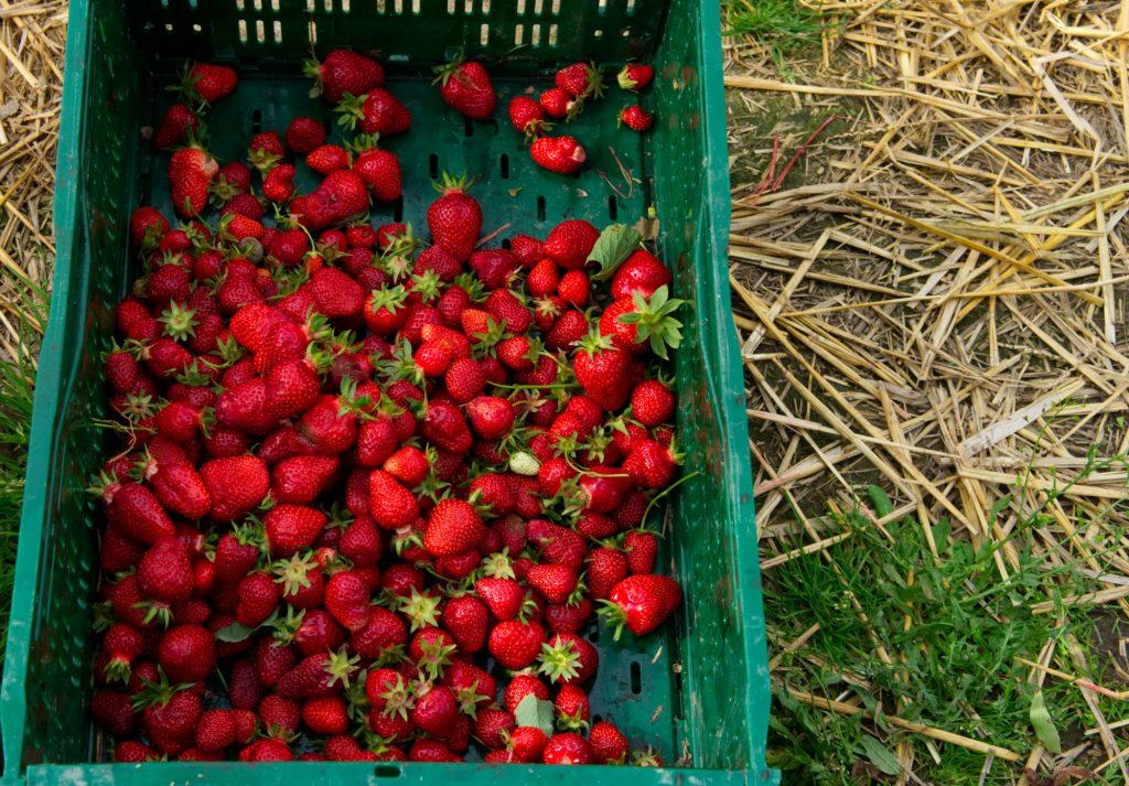 Erdbeeren auf der Rheinischen Apfelroute