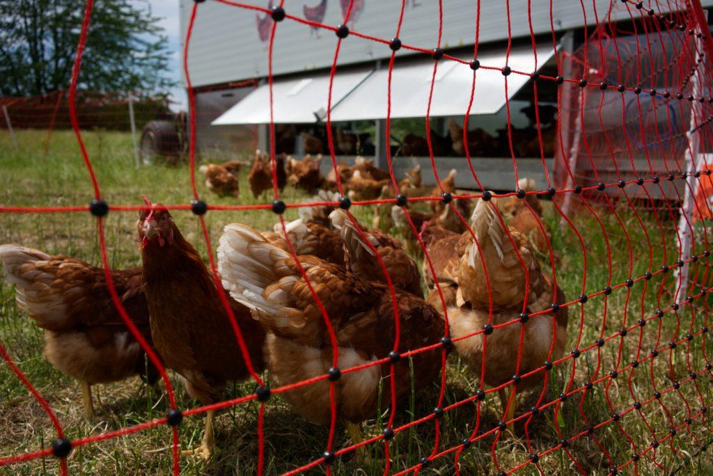 Biohof Bursch Hühner