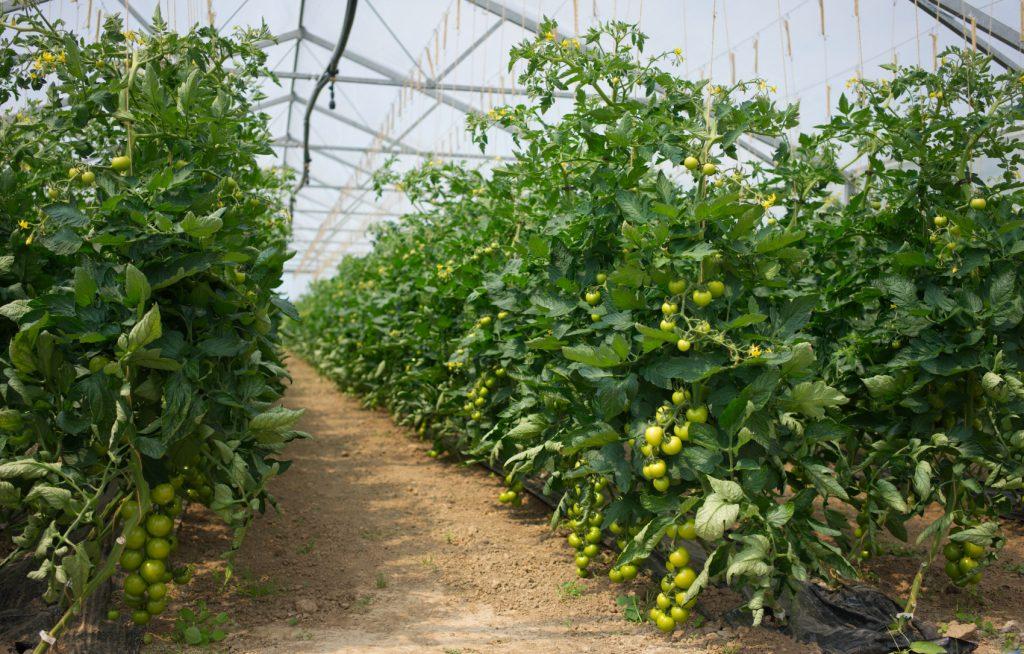 Tomaten Biohof Bursch